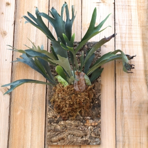 staghorn1_square_resized